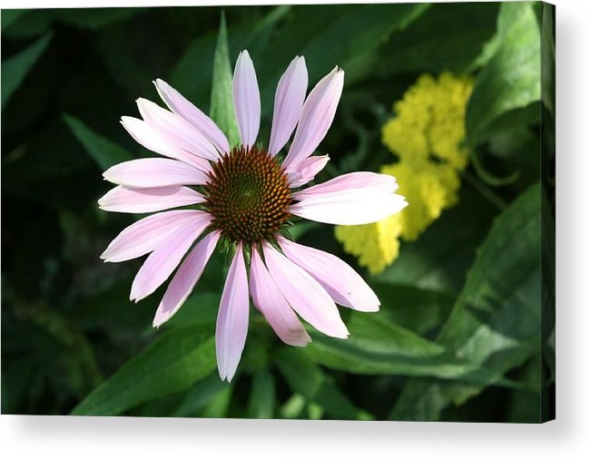 Pink Cone Flower Acrylic Print featuring the photograph Pink Cone Flower 2 by Debra Sandstrom