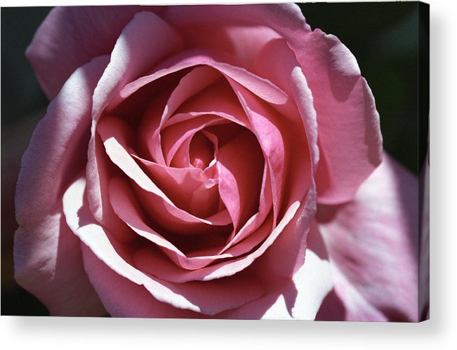 Rose Acrylic Print featuring the photograph Pink Rose by Paul Trunk