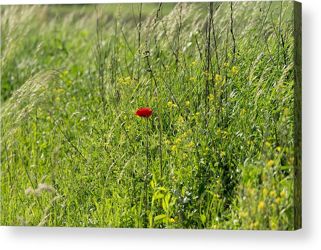 Agriculture Acrylic Print featuring the photograph Poppy Flower Between Herbs by Adrian Bud