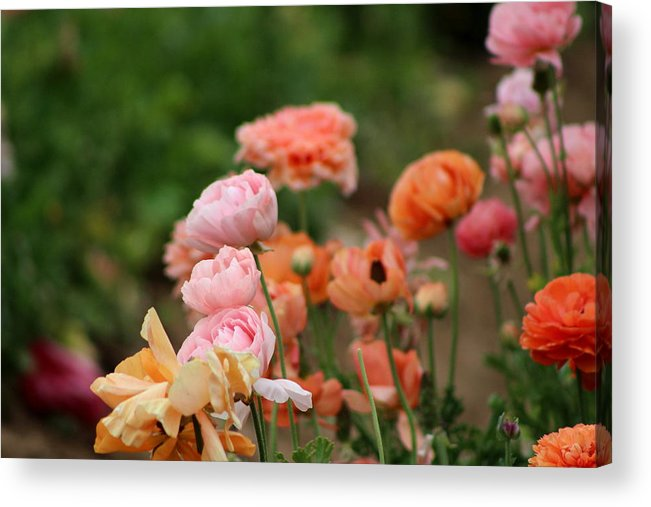 Powder Pink Ranunculus Acrylic Print featuring the photograph Powder Pink and Salmon Ranunculus by Colleen Cornelius