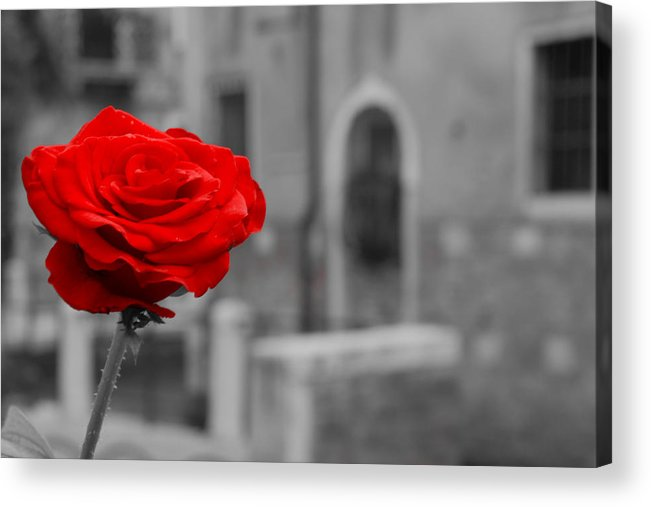 Venice Acrylic Print featuring the photograph Red Rose with Black and White Background by Michael Henderson