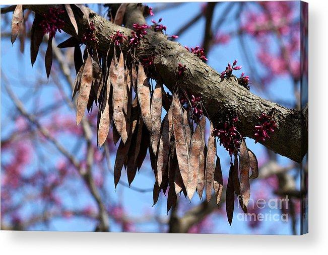 Redbud Tree Seed Pods Acrylic Print By Catherine Sherman