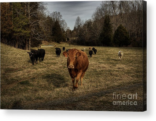 Scotopic Acrylic Print featuring the photograph Scotopic Vision 9 - Cows Come Home by Pete Hellmann