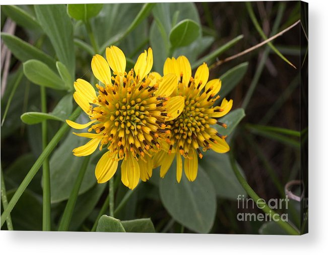 Wildflower Acrylic Print featuring the photograph Sea Oxeye Flowers by Matt Cormons