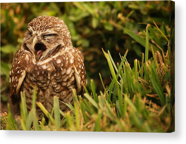 Sleepy Acrylic Print featuring the photograph Sleepy Owl by Mandy Wiltse