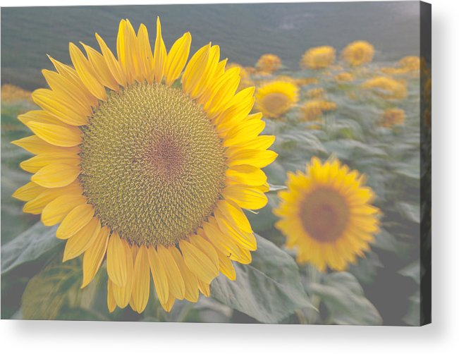 Sunflower Acrylic Print featuring the photograph Sunflower closeup on field during sunset by Michael Goyberg