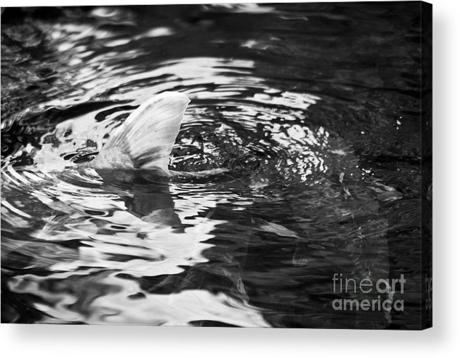 Koi Acrylic Print featuring the photograph Tailing by Alex Garcia