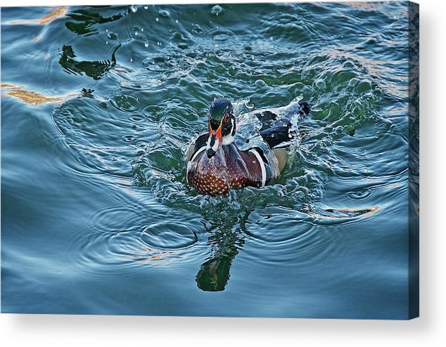 Nature Acrylic Print featuring the photograph Taking a Dip, Wood Duck by Zayne Diamond Photographic