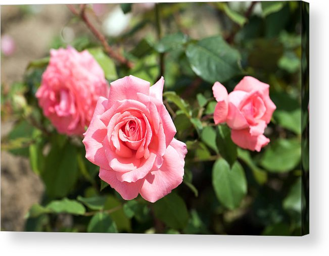 Abstract Acrylic Print featuring the photograph Three Pink Roses by Adrian Bud