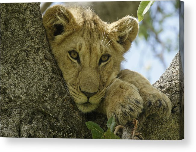 Africa Acrylic Print featuring the photograph Time for a Nap by Michele Burgess