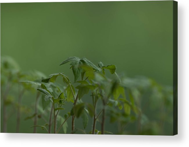 Agriculture Acrylic Print featuring the photograph Tomato seedlings in the morning by Adrian Bud