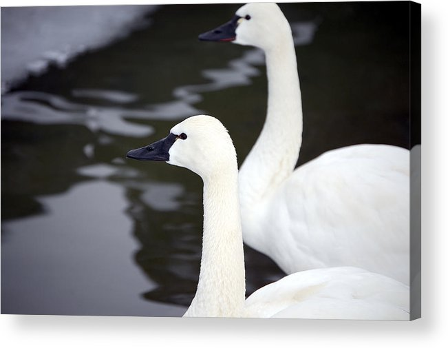 Swans Acrylic Print featuring the photograph Tundra Swans by Lisa Kane