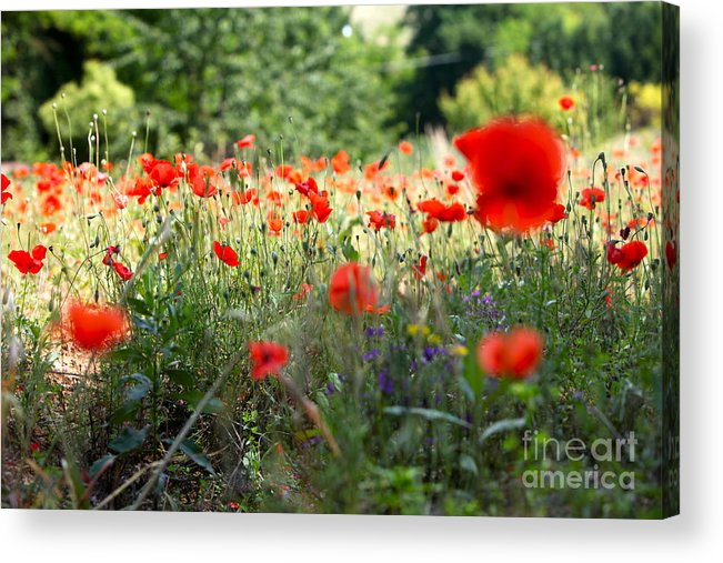 Poppies Acrylic Print featuring the photograph Tuscan Poppies by Nadine Rippelmeyer