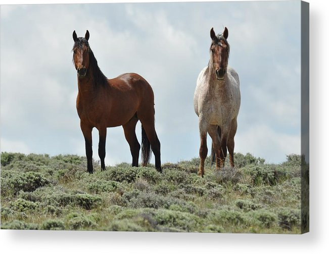 Wild Horses Acrylic Print featuring the photograph We See You by Frank Madia