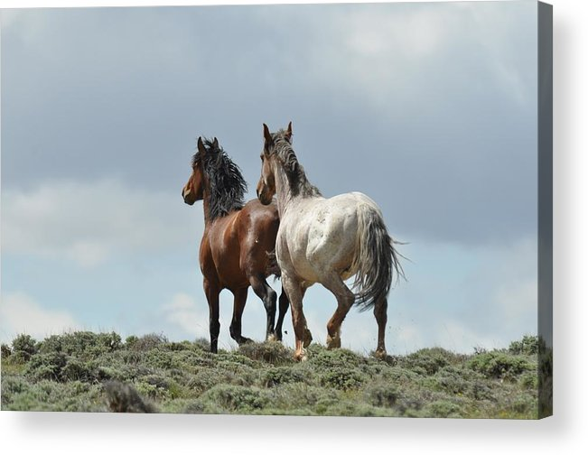 Wild Horses Acrylic Print featuring the photograph We Will Be Over the Hill in a Few Seconds by Frank Madia