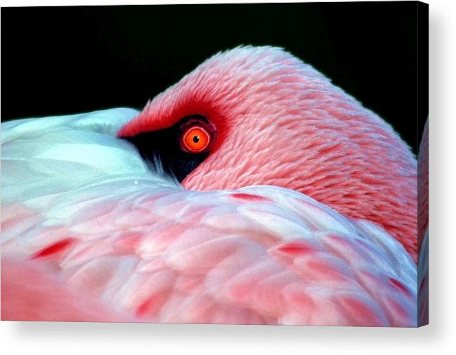 Pink Acrylic Print featuring the photograph Wearing Pink by Mitch Cat