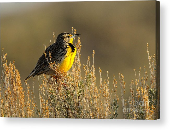 Bird Acrylic Print featuring the photograph Western Meadowlark at Dawn by Dennis Hammer