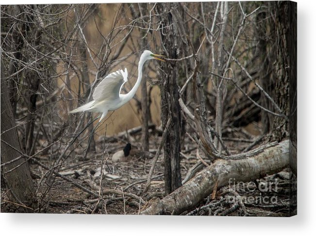 White Acrylic Print featuring the photograph White Egret by David Bearden