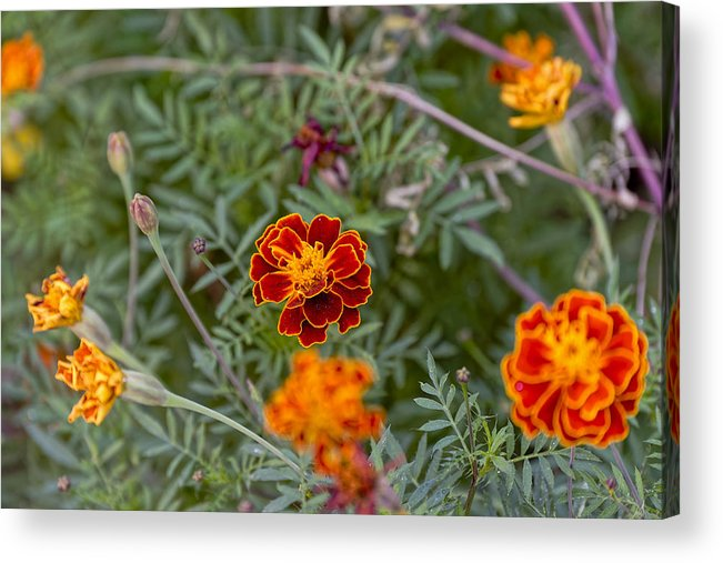 Anniversary Acrylic Print featuring the photograph Yellow Satin Piping by Adrian Bud