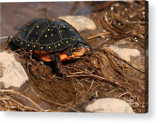 Turlte Acrylic Print featuring the photograph Yellow-spotted Turtle Crawling Through Wetland by Max Allen
