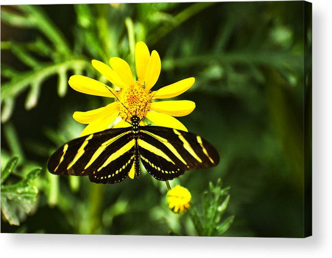 Butterfly Acrylic Print featuring the photograph Yellow Stripes on Yellow Flower by Richard Henne