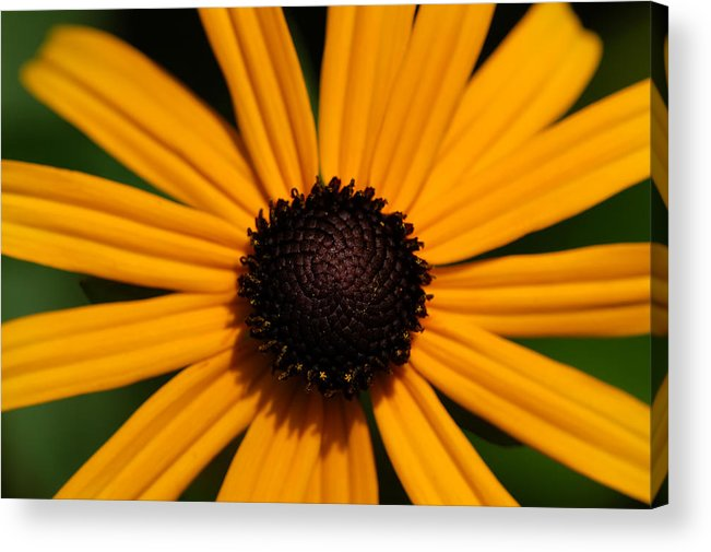 Sunflower Acrylic Print featuring the photograph You Are My Sunshine by Mandy Wiltse