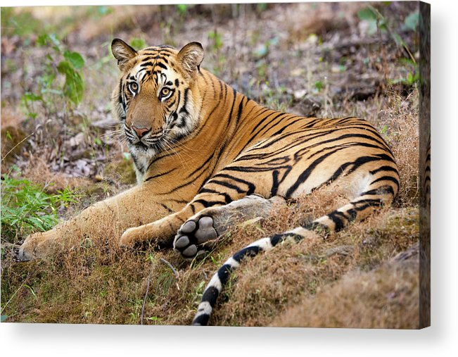 Looking Over Shoulder Acrylic Print featuring the photograph An Adult Tiger In Bandhavgarh National by Mint Images - Art Wolfe