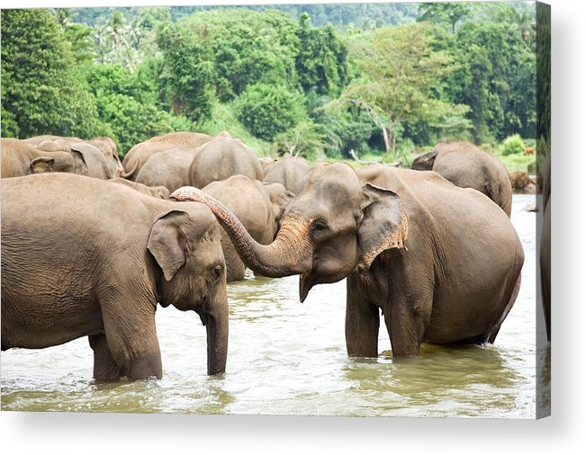 Animals In The Wild Acrylic Print featuring the photograph Elephants In River by Lp7