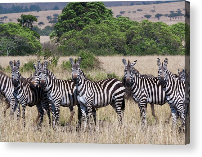 Scenics Acrylic Print featuring the photograph Grants Zebras, Kenya by Mint Images/ Art Wolfe
