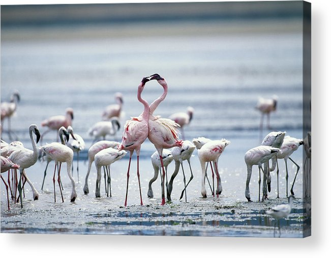 Tanzania Acrylic Print featuring the photograph Lesser Flamingoes Phoeniconaias Minor by Paul Souders