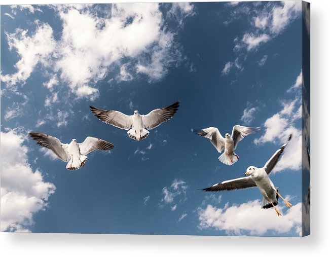 Animal Themes Acrylic Print featuring the photograph Myanmar, Inle Lake, Seagulls Inflight by Martin Puddy