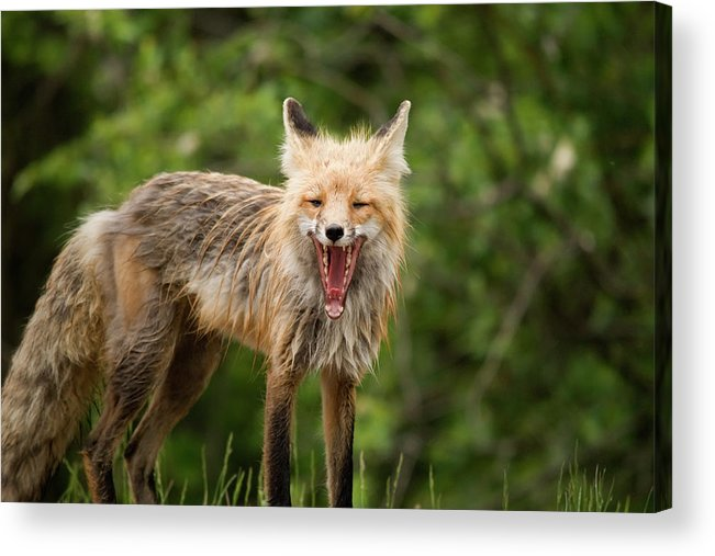 Snarling Acrylic Print featuring the photograph Red Fox Vulpes Vulpes In Prince Albert by Philippe Widling / Design Pics