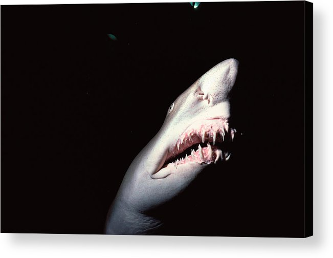 Underwater Acrylic Print featuring the photograph Sand Tiger Shark by Jeff Rotman