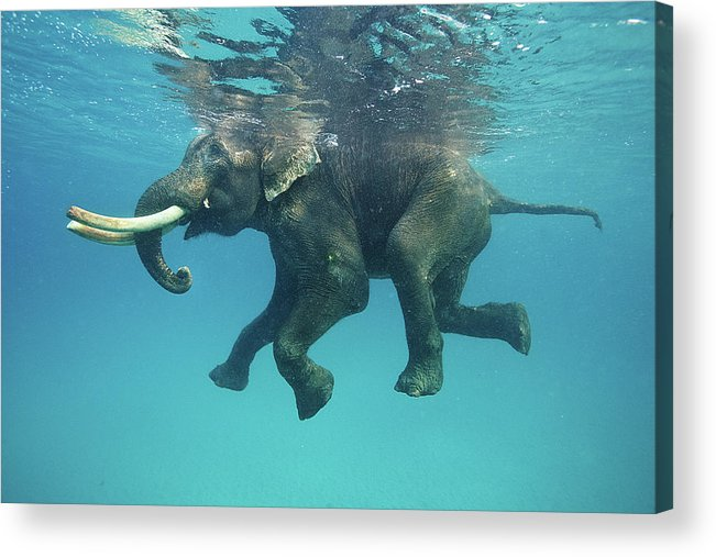 Underwater Acrylic Print featuring the photograph Swimming Elephant by Mike Korostelev Www.mkorostelev.com