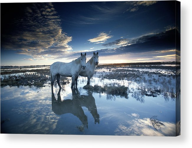Horse Acrylic Print featuring the photograph Wild Horses Equus Caballus, France by Art Wolfe