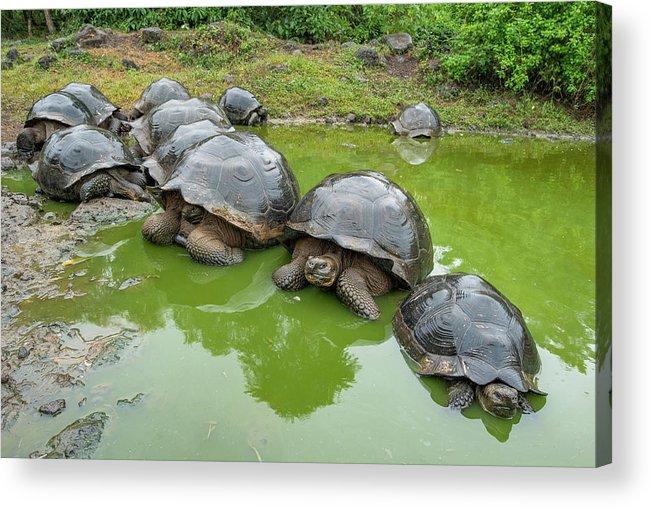 Animal Acrylic Print featuring the photograph Creep Of Indefatigable Island Tortoises by Tui De Roy
