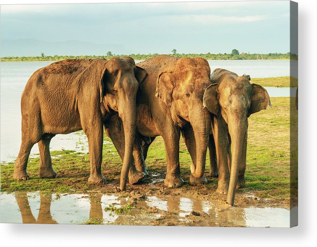 Elephant Acrylic Print featuring the photograph Elephants - Three Best Friends 2 by Max Blumenthal