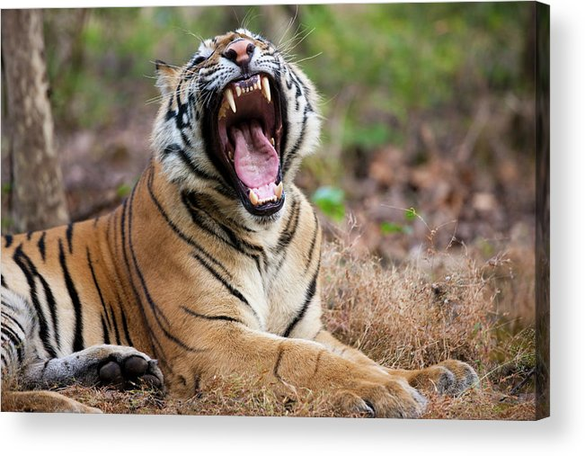 Snarling Acrylic Print featuring the photograph An Adult Tiger In Bandhavgarh National by Mint Images - Art Wolfe