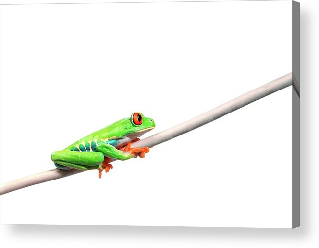 Rope Acrylic Print featuring the photograph A Frog Hanging On by Design Pics/corey Hochachka