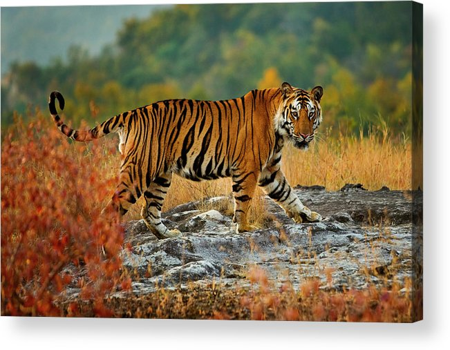 Vertebrate Acrylic Print featuring the photograph A Large Tiger In Bandhavgarh National by Mint Images - Art Wolfe