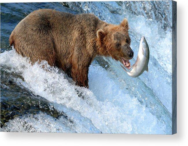 Katmai Peninsula Acrylic Print featuring the photograph Alaska Brown Bear Catching Salmon by Mit4711