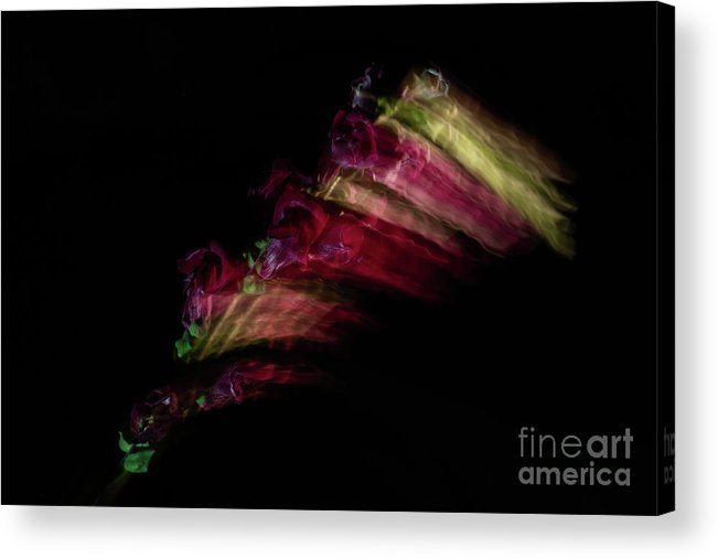 Snapdragon Acrylic Print featuring the photograph Amazing Flower Of Snapdragons by Valerie Kovt