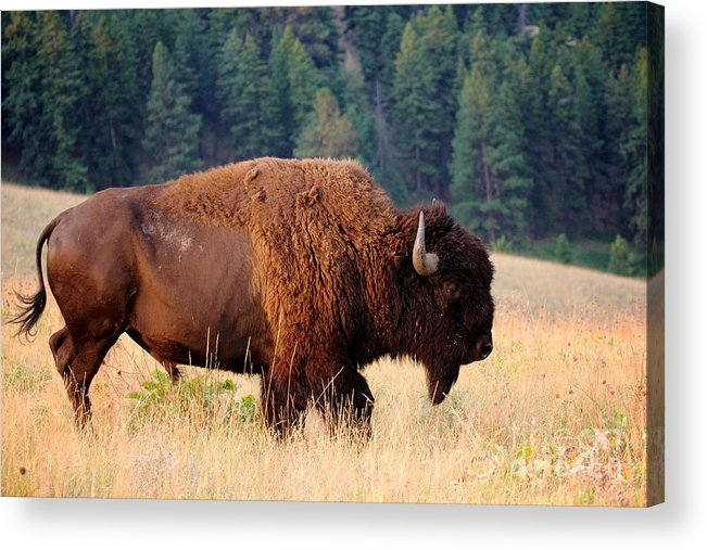 Symbol Acrylic Print featuring the photograph American Bison Buffalo Side Profile by Steve Boice