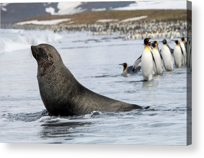 Water's Edge Acrylic Print featuring the photograph An Antarctic Fur Seal, Arctocephalus by Mint Images - David Schultz