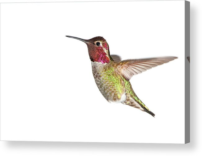 Hanging Acrylic Print featuring the photograph Annas Hummingbird - Male, White by Birdimages