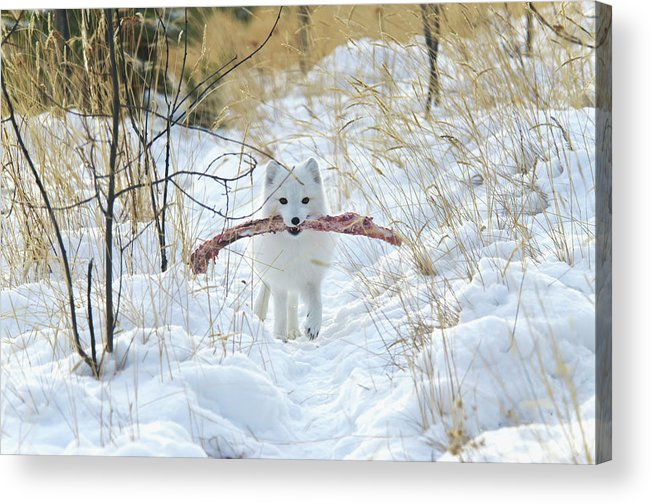 Grass Acrylic Print featuring the photograph Arctic Fox Alopex Lagopus In White by Mark Newman / Design Pics