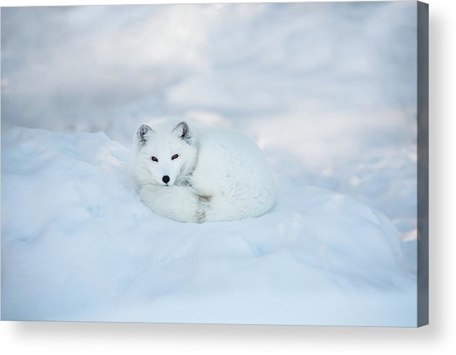 Svalbard Islands Acrylic Print featuring the photograph Arctic Fox Resting In The Snow by Seppfriedhuber