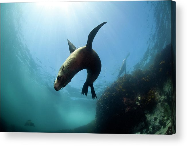 Underwater Acrylic Print featuring the photograph Australian Fur Seal With Sun Burst by Alastair Pollock Photography