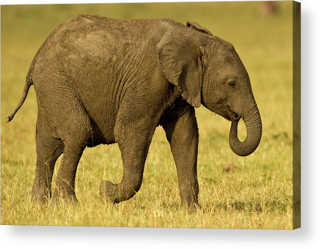 Following Acrylic Print featuring the photograph Baby Elephant Following The Herd On The by Manoj Shah