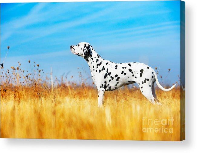 Play Acrylic Print featuring the photograph Beautiful Dalmatian Dog In A Field by Tatiana Katsai